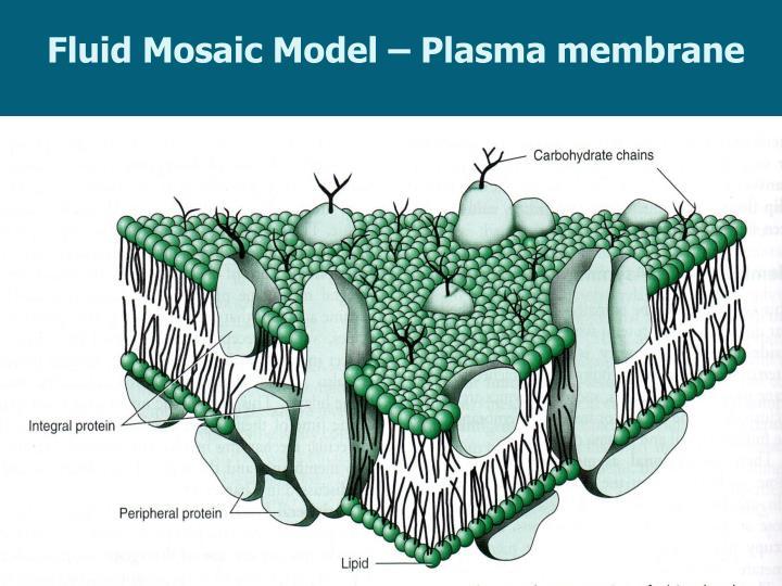 Fluid Mosaic Model – Plasma membrane