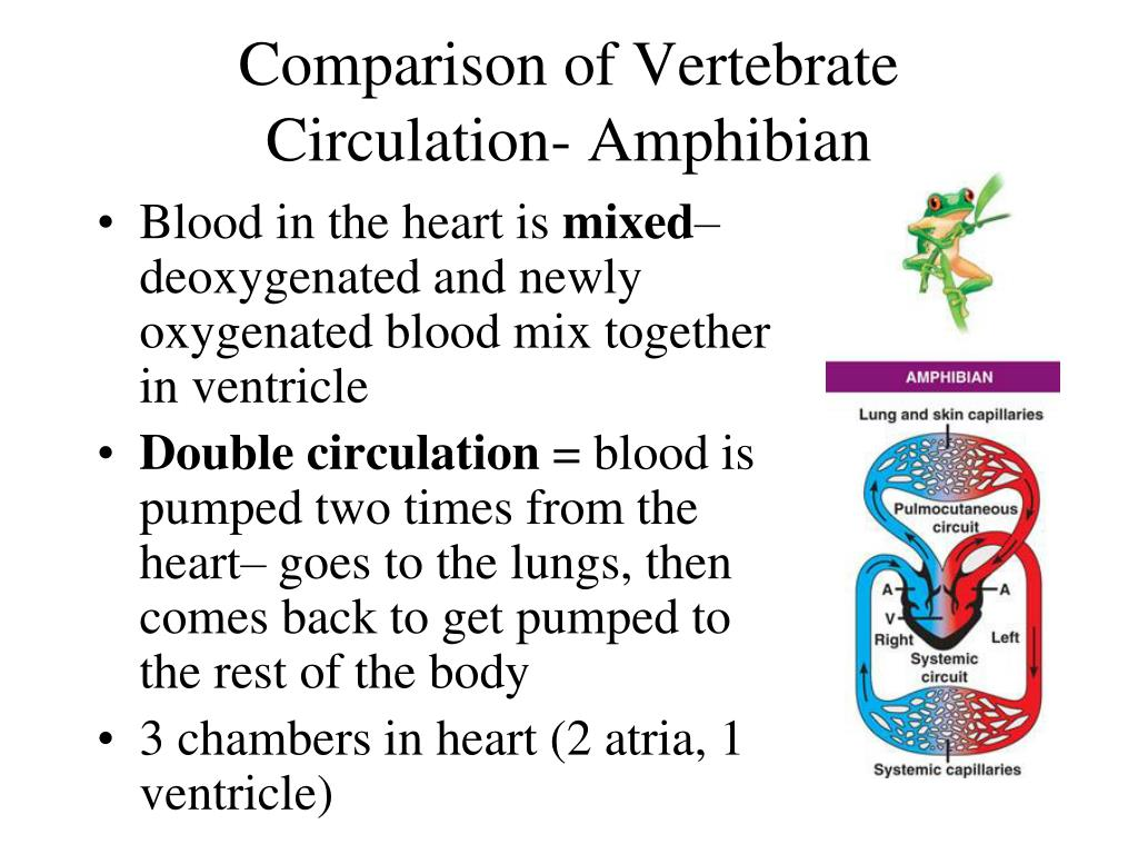 PPT - Animal Circulation PowerPoint Presentation - ID:5373902