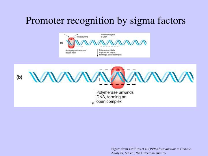 Promoter recognition by sigma factors