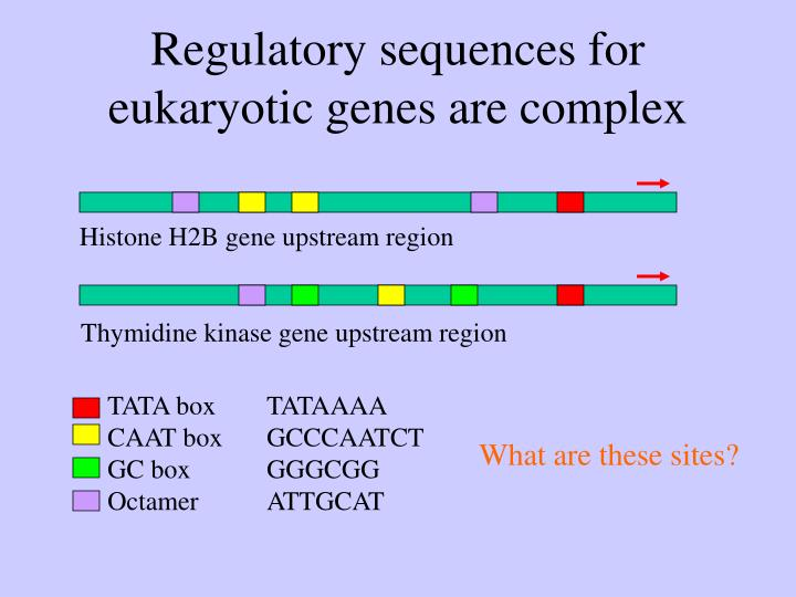 Regulatory sequences for eukaryotic genes are complex