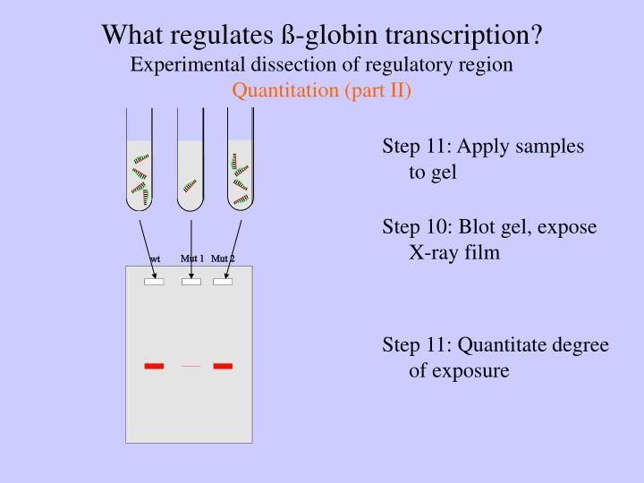 What regulates ß-globin transcription?