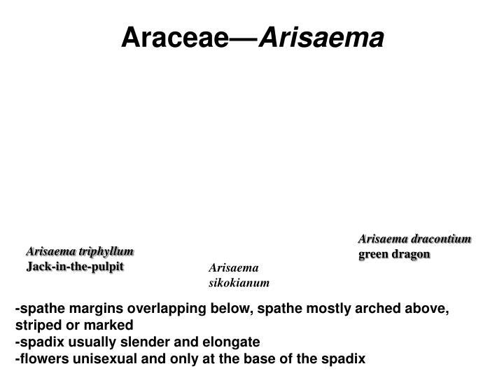 Araceae—