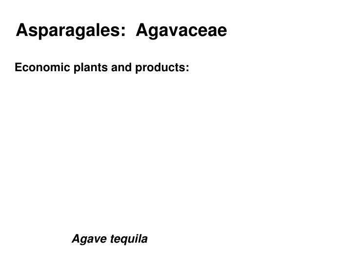 Asparagales:  Agavaceae