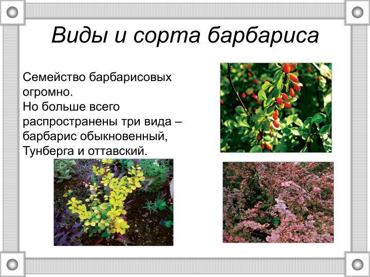 Виды и сорта барбариса