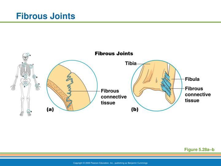 Fibrous Joints