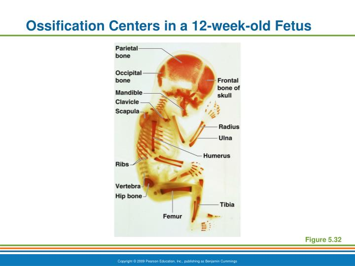 Ossification Centers in a 12-week-old Fetus