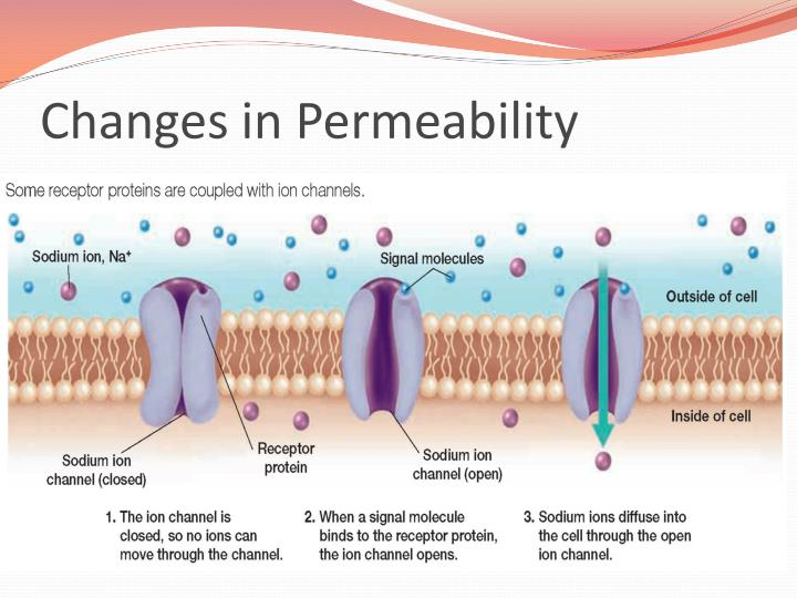 the effect of chemicals on cell membrane permeability Title membrane permeability aim to determine the effect of various chemicals and high temperature on the membrane permeability of beetroot hypothesis organic solvent and high temperature will destroy the cell membrane and make it permeable to the red pigment.