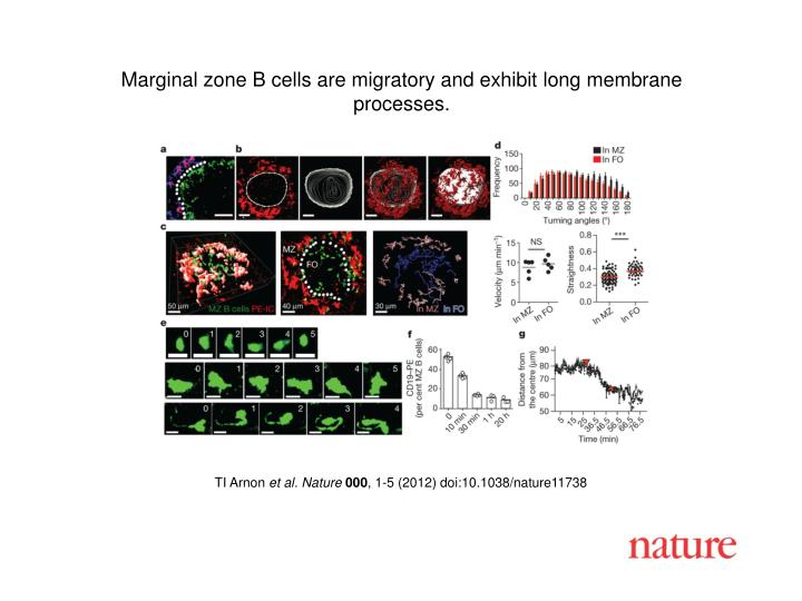 Marginal zone B cells are migratory and exhibit long membrane