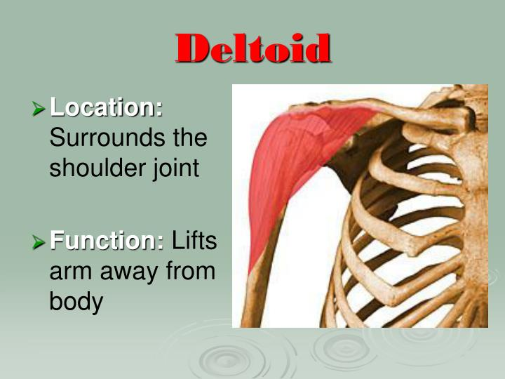 Ppt The Muscular System Powerpoint Presentation Id5390284