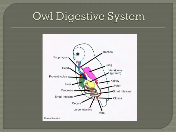 Owl Digestive System