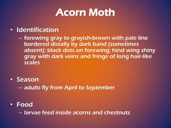 Acorn Moth