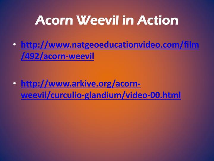 Acorn Weevil in Action