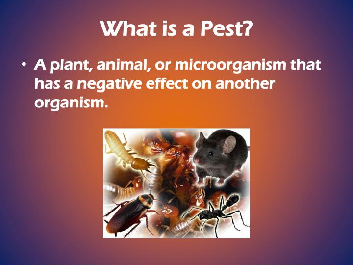 What is a pest
