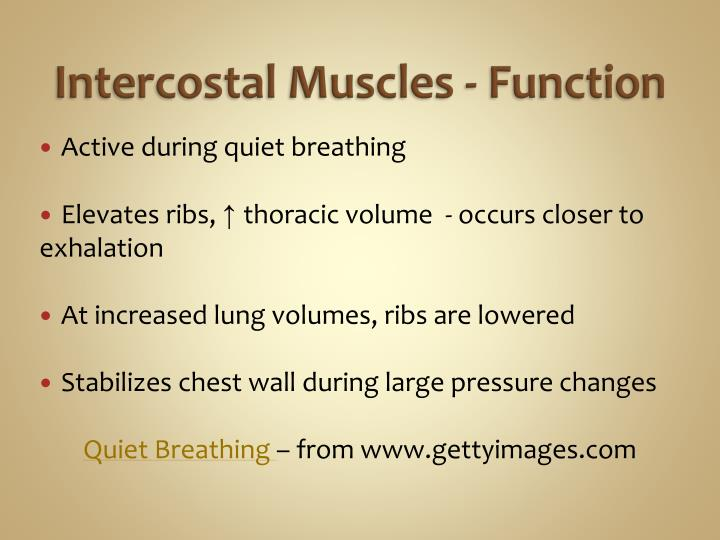 Intercostal Muscles - Function