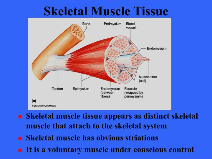 physioex 9 0 skeletal muscle Physioex 80  experiment 1cell transport mechanisms and permeability 1simple= =20 diffusion experiment 2skeletal muscle physiology = 1single=20 stimulus.