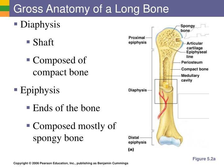 Ppt The Skeletal System Powerpoint Presentation Id5395988