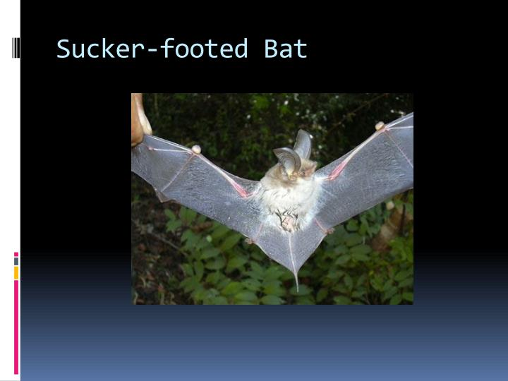 Sucker-footed Bat