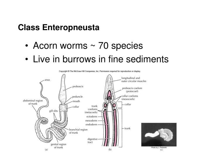 Class enteropneusta
