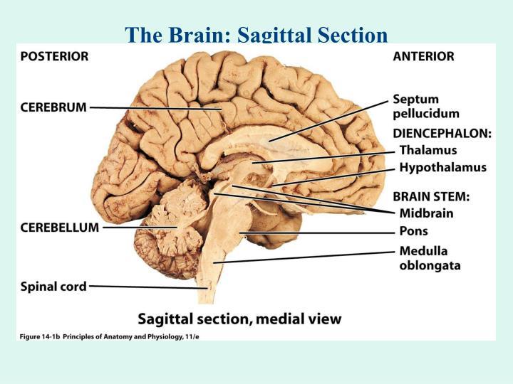 PPT - The Brain: Sagittal Cartoon PowerPoint Presentation - ID:5403145