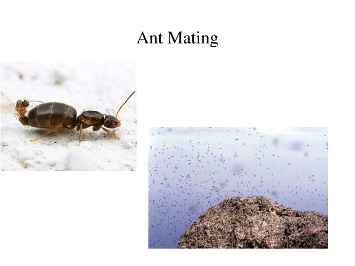 Ant Mating