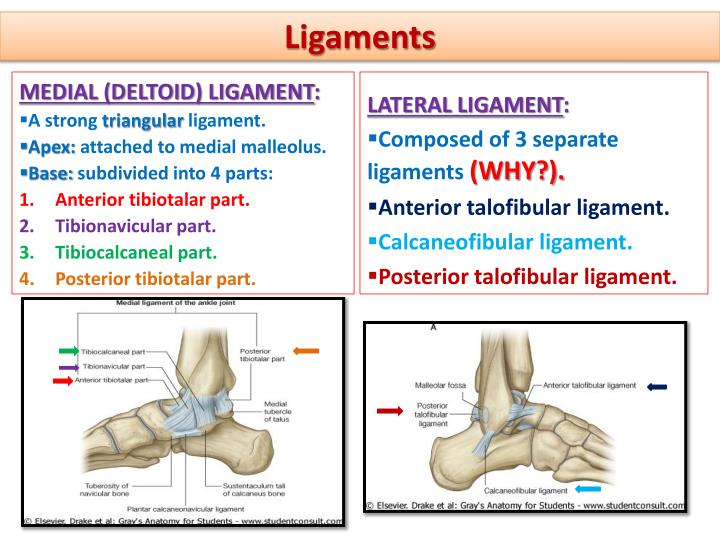 Attractive Deltoid Ligament Anatomy Ornament - Anatomy And ...