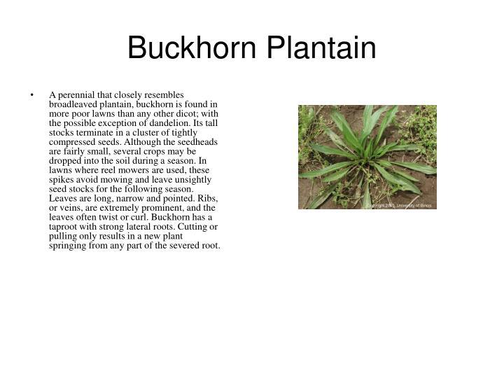 Buckhorn Plantain