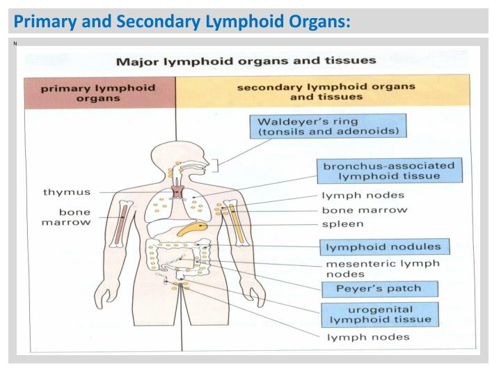 Ppt - Lymphoid Tissues And Organs  Powerpoint Presentation