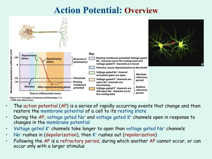 Action potential overview