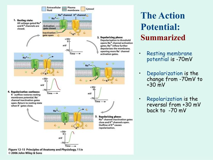 The Action Potential: