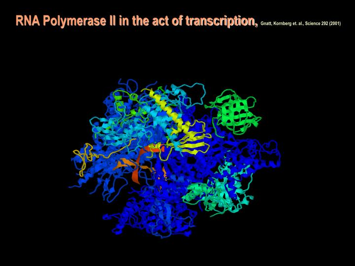 RNA Polymerase II in the act of transcription,