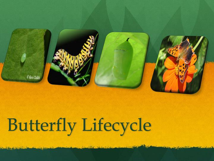butterfly lifecycle n.
