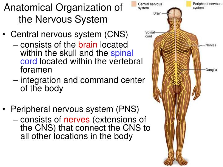 PPT - Anatomical Organization of the Nervous System PowerPoint ...