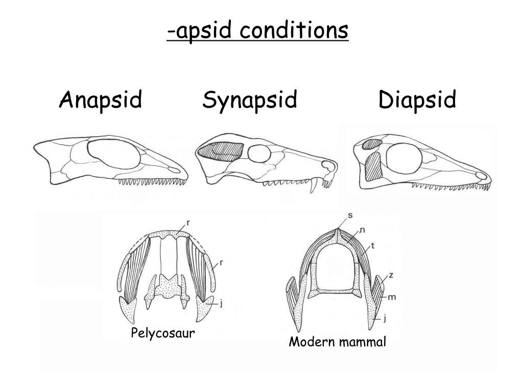 PPT - Anapsida PowerPoint Presentation - ID:5417753