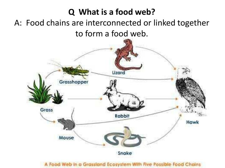 unbalance of food chain What is a food chain find out why there are more herbivores than carnivores interactive activities, multiple-choice questions and crossword puzzle.