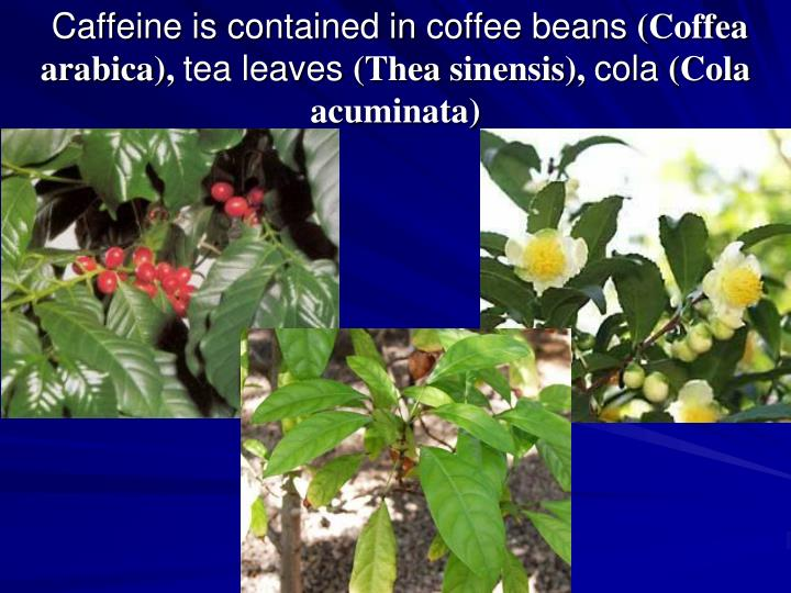 Caffeine is contained in coffee beans