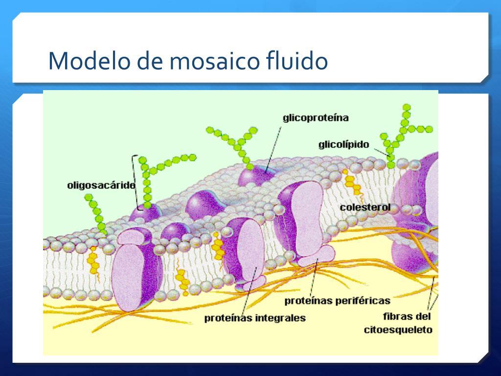 Ppt La Membrana Plasmática Powerpoint Presentation Free