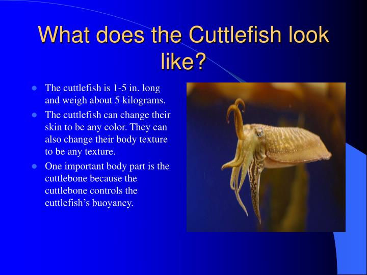 What does the cuttlefish look like