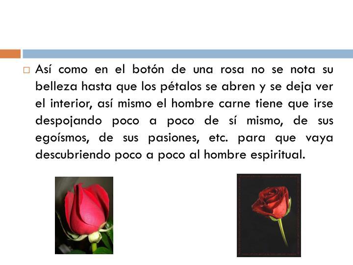 Así como en el botón de una rosa no se nota su belleza hasta que los pétalos se abren y se deja ver el interior, así mismo el hombre carne tiene que irse despojando poco a poco de sí mismo, de sus egoísmos, de sus pasiones, etc. para que vaya descubriendo poco a poco al hombre espiritual.