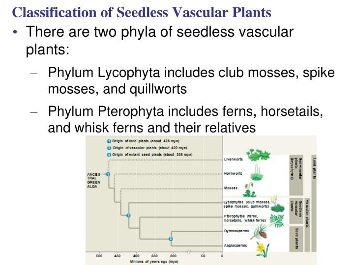 Classification of Seedless Vascular Plants