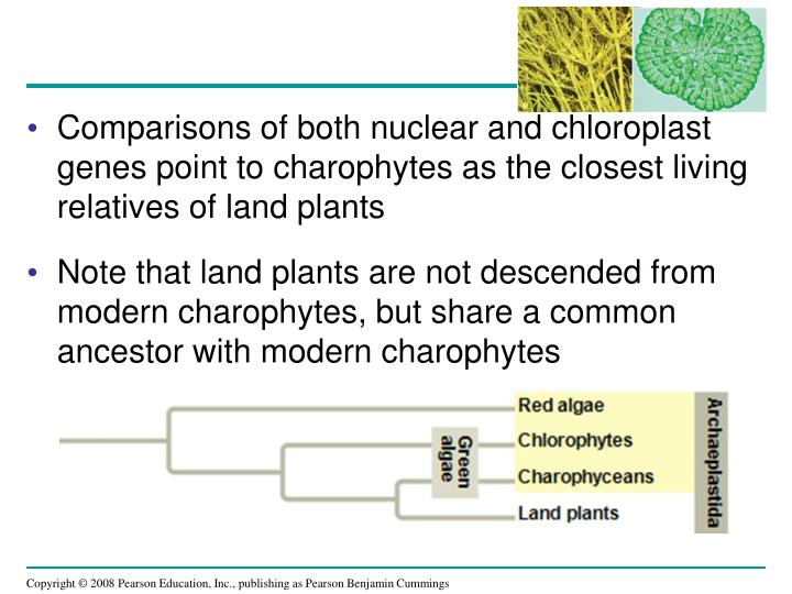 Comparisons of both nuclear and chloroplast genes point to charophytes as the closest living relatives of land plants