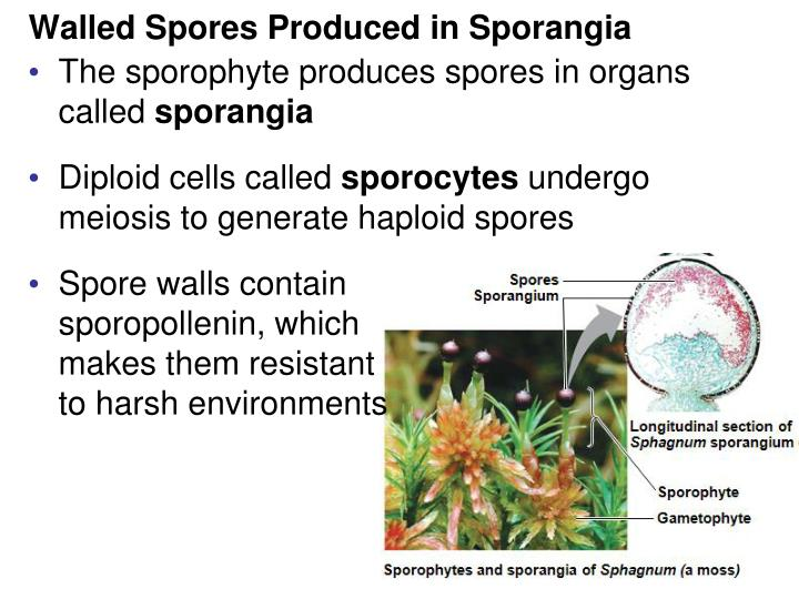 Walled Spores Produced in Sporangia