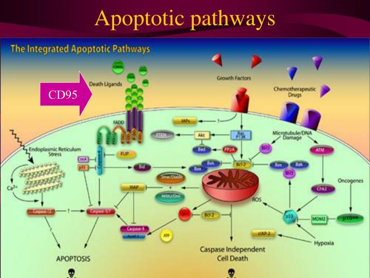Apoptotic pathways