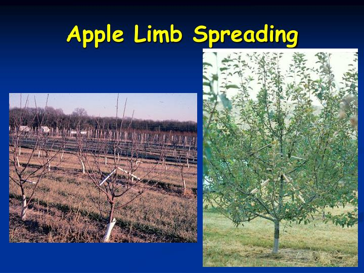 Apple Limb Spreading