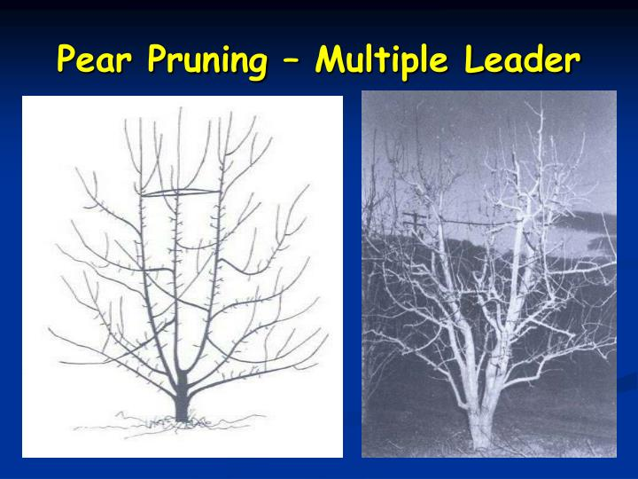 Pear Pruning – Multiple Leader