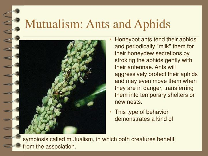 Mutualism: Ants and Aphids