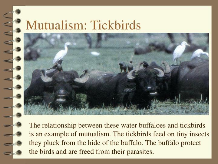 Mutualism: Tickbirds