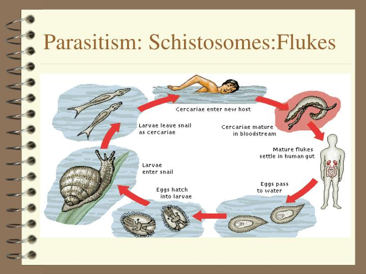 Parasitism: Schistosomes:Flukes