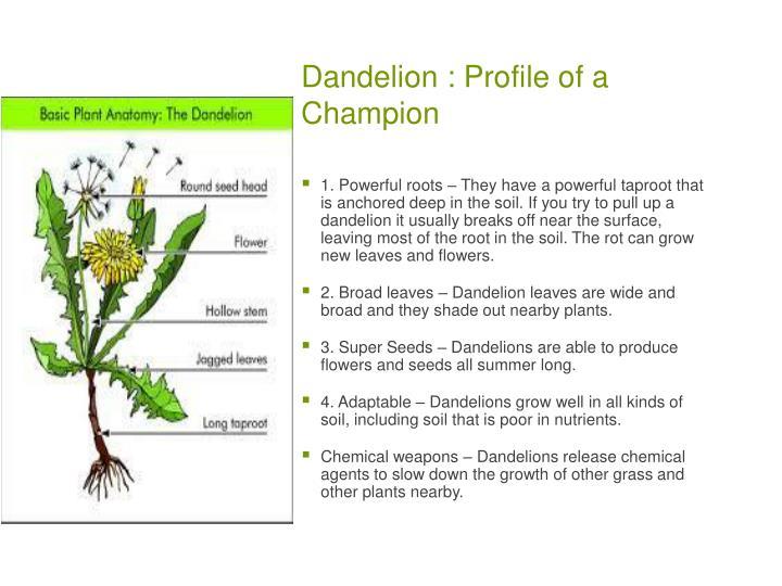 Dandelion : Profile of a Champion