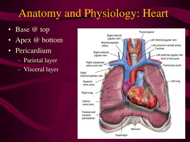 PPT - Heart and Peripheral Vasculature PowerPoint Presentation - ID ...