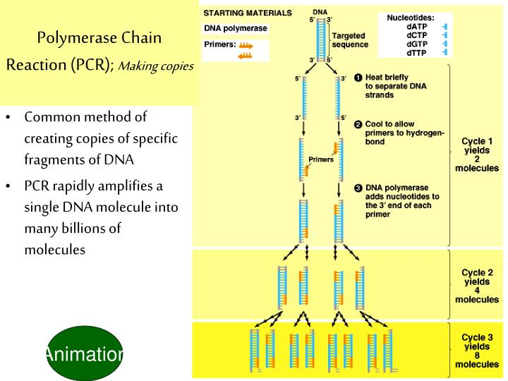 concepts of the polymerase chain reaction biology essay The polymerase chain reaction is used to quickly produce many copies of a  specific segment of dna when only  the benefit of pcr is  concepts of  biology.